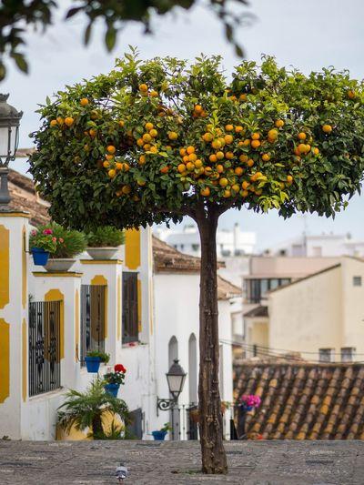Oranges Estepona Andalucía Town Southern SPAIN Orange Tree Architecture Built Structure Building Exterior