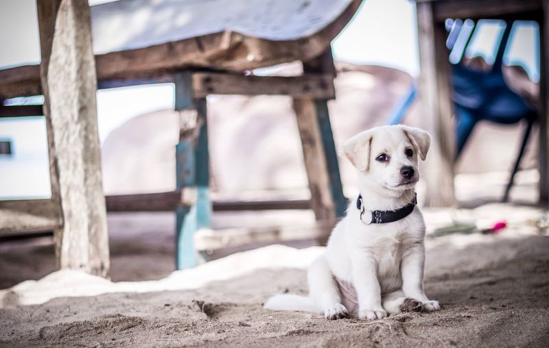 The puppy is sitting on the island. Wood Cute Pets Cute Travel Traveling Summer Vacation Bali Bali, Indonesia Dogslife Dog Love Dogs Puppy One Animal Mammal Canine Pets Domestic Dog Domestic Animals Vertebrate No People Day Focus On Foreground Looking Away Portrait Looking Outdoors Sitting
