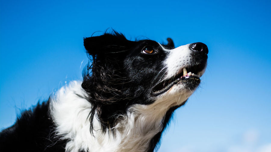 Low angle view of border collie against blue sky