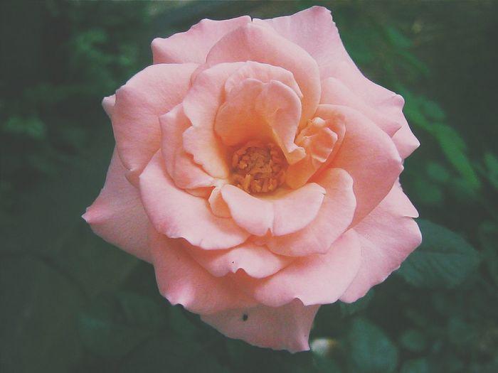 Flower Nature Pink A Rose Pink Rose