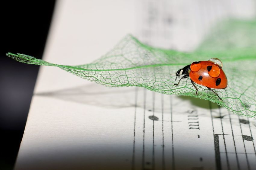 Music ladybug Animal Markings Beauty In Nature Close-up Day Focus On Foreground Green Color Insect Ladybug Leaf Macro Music Music Ladybug Natural Pattern Nature No People Orange Color Plant
