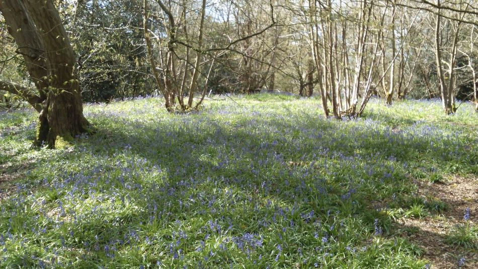 Shade Shadows Spring Time Spring Flowers Beauty In Nature Flowers Wild Flowers Wildflowers Woodland Flowers Nature Photography Nature_collection Nature Blue Bells Bluebells Trees WoodLand Woods Forest In The Woods Forest Floor In The Forest Woodland Walk Bluebell Woods Nature On Your Doorstep Greenery