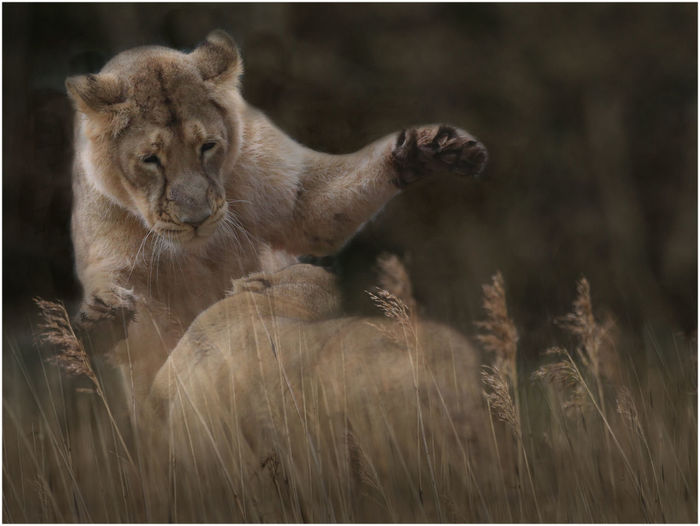 Playful Young Lions On Field