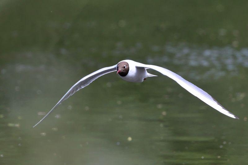 Black-Headed Gull Flying Over Lake