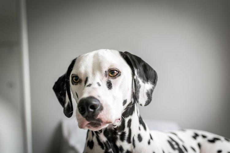 Close-Up Of Dalmatian At Home