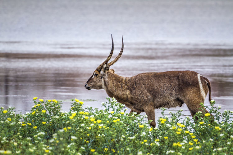 Antelope by plants at lakeshore