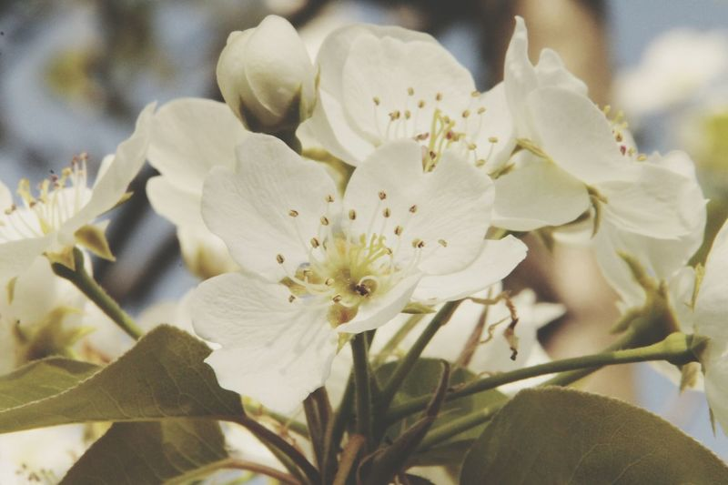 Growth Nature Plant Flower Beauty In Nature Close-up Blossom No People Outdoors Flower Head Day Pear Pear Blossoms Pear Blossom White White Color