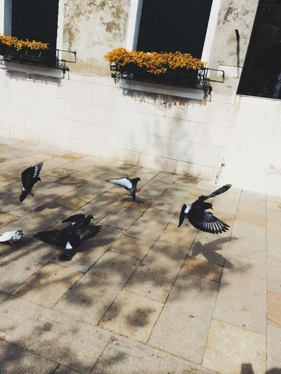 Pigeons in