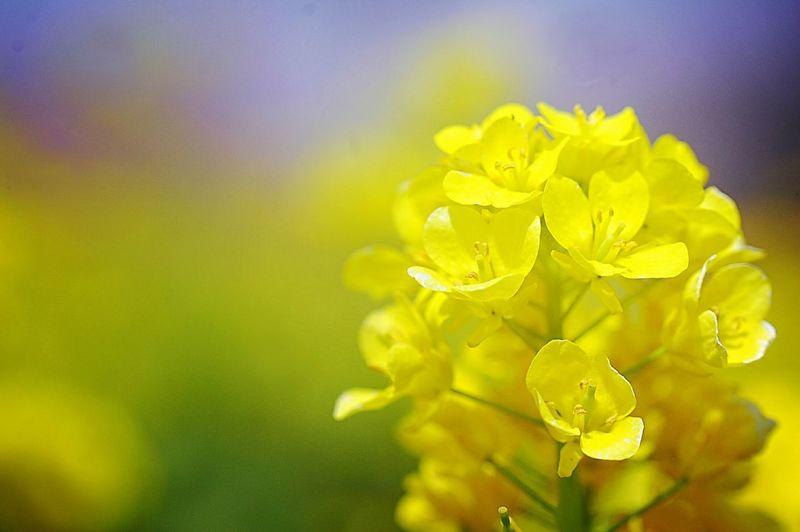 【急募】モデル 資格:紋白蝶 Spring Colours 春 Spring Colors Flower Collection Depth Of Field Yellow Flower Flowers Spring Time Bokeh Bokeheffect 菜の花