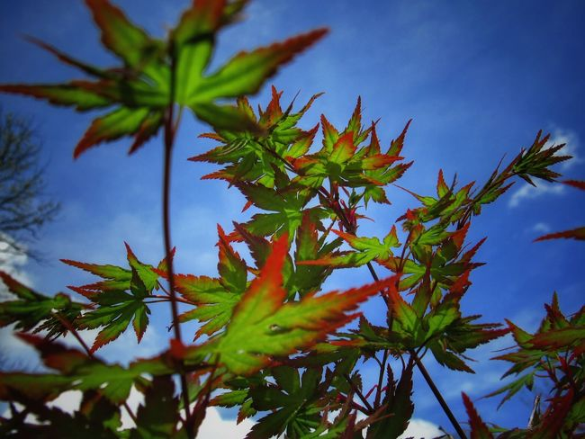 Hello everyone!😊✌ Tranquil Scene Springtime Japanese Maple Exceptional Photographs Thankful✨ Outdoors Taking Photos EyeEm Best Shots Nature_collection EyeEm Nature Lover Eye4photography  EyeEm Gallery EyeEm Best Shots - Nature Shine On ✨ First Eyeem Photo Nature Naturelovers Tree Leaf Blue Sky Close-up Plant Maple Leaf Maple Tree Leaf Vein This Is Latin America Visual Creativity EyeEmNewHere Leaves