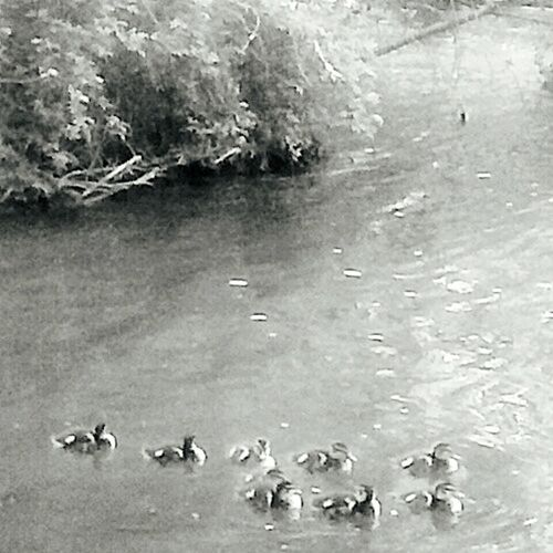 Duck Babies, Alone. Photograph Shot Editedbyme Oddronuc Modeling by Baby Animals Mallard Mallard Ducks Grand River Michigan Nature Photography Black And White Monotone Beautiful Birds