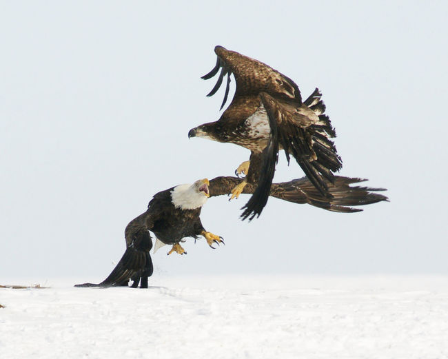 Eagles fighting over snow covered field against sky