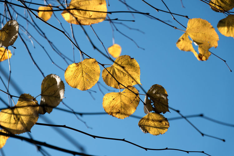 Low angle view of autumnal leaves against clear sky