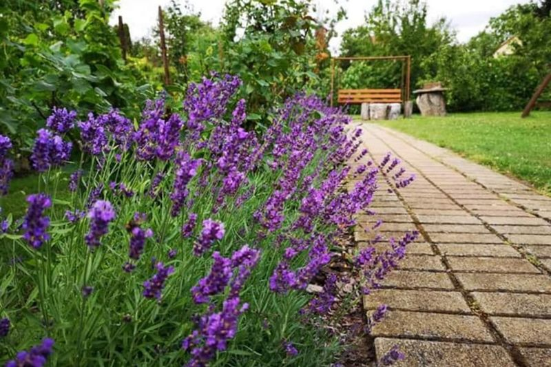 #beautyliesathome #lavenderpatch #naturesbeautypersonified Purplelove Lavenderbed