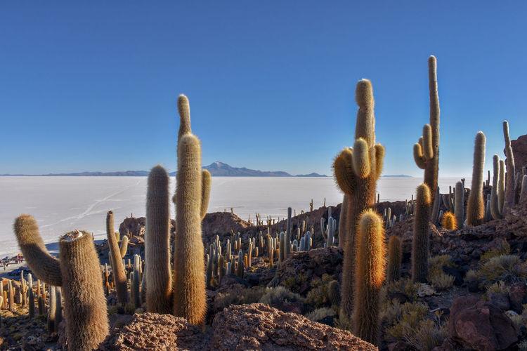 Cactus growing in desert against clear blue sky