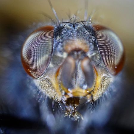 Insect Extreme Close-up Focus On Foreground Close-up Macro Animal Hair One Animal Microbiology Animal Head  Home Fly Fly Insect Photography Macro_collection Eyeem Photography Close Up Photography Macro Photography SuperMacro EyeEm Macro Collection EyeEm Gallery EyeEm Best Shots - Nature EyeEmBestPics EyeEmNewHere Insects Collection