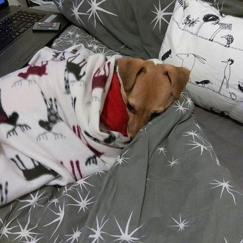 Bonne nuit les amis 🌃 🐾💤💕 ⛄❄🍃🐾 Hiver 2016 Instamoment Jackrussel Hug Love Dog Instacute Instalove Ilovemydog Iloveyou Jrt Perfectday Lovedogs Dogstagram Doggy Mummy Queen Family IDog