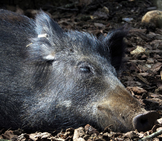 Sleeping Beauty Wildlife & Nature Animal Themes Animals In The Wild Boar Boars Boarshead Close-up Livestock Mammal Nature No People One Animal Pig Piglet Wild Boar Wild Boars