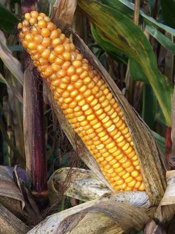 Corncob ready to reap Autumn Autumn Colors Cereal Farm Field Agriculture Close-up Corn Corn On The Cob Corncob Crop  Day Farming Food Food And Drink Freshness Grain Growth Harvest Healthy Eating Nature No People Outdoors Reap Vegetable
