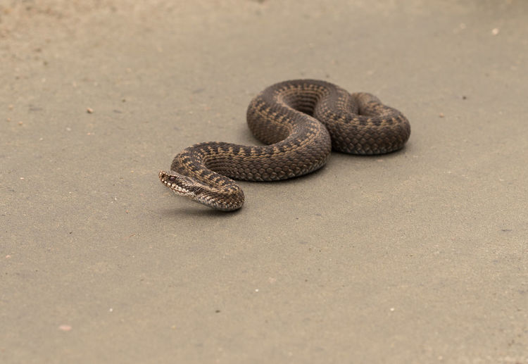 High angle view of viper on dirt road