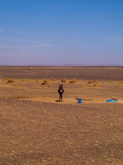Sahara: at Berber camp Desert Hiking Holiday Morocco MoroccoTrip Nature Travel Trip Vacations Walking Around Wanderlust Adventure Africa Berber  Berbervillage Desert Donkey Horizon Journey Land Landscape Outdoors Sahara Sky Tourism