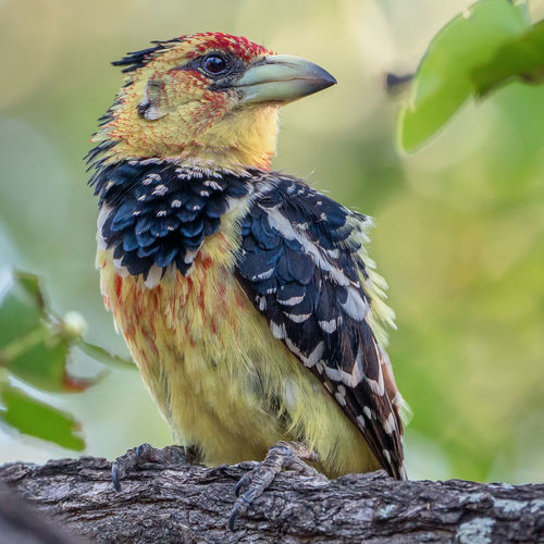 a lone crested barbet sitting in a tree Colourful Crested Barbet Animal Themes Animal Wildlife Animals In The Wild Beak Bird Close-up Day Focus On Foreground Nature No People One Animal Outdoors Perching First Eyeem Photo