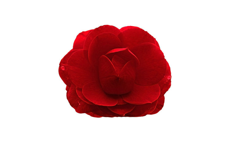 Close-up of red rose against white background