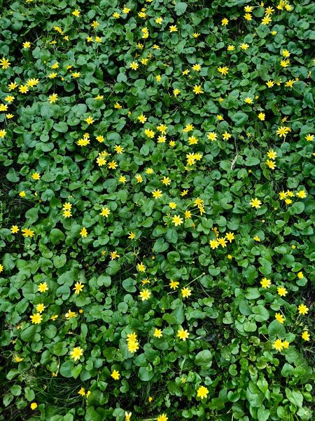 Ficaria Verna Lesser Celandine Abundance Backgrounds Beauty In Nature Close-up Flower Flower Head Flowering Plant Fragility Freshness Full Frame Green Background Green Color Growth Nature Nature Backgrounds No People Outdoors Plant Plant Part Spring Spring Flowers Springtime Vulnerability  Yellow Flowers The Great Outdoors - 2018 EyeEm Awards