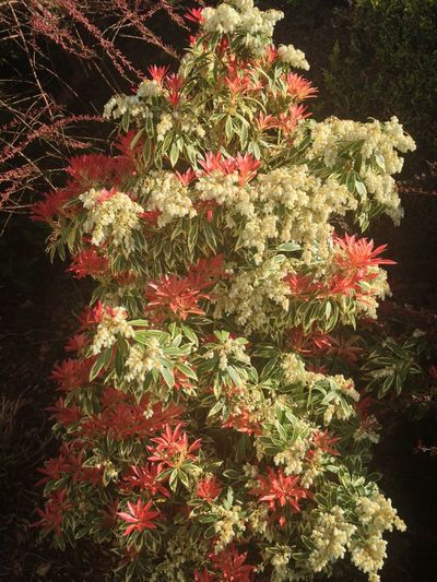 Pieris Forestii Growing Our Own