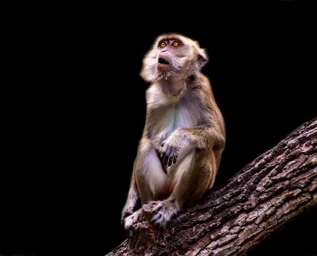 Long tailed macaque against black background