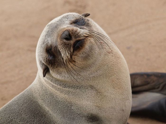 Close-up of sea lion on sand