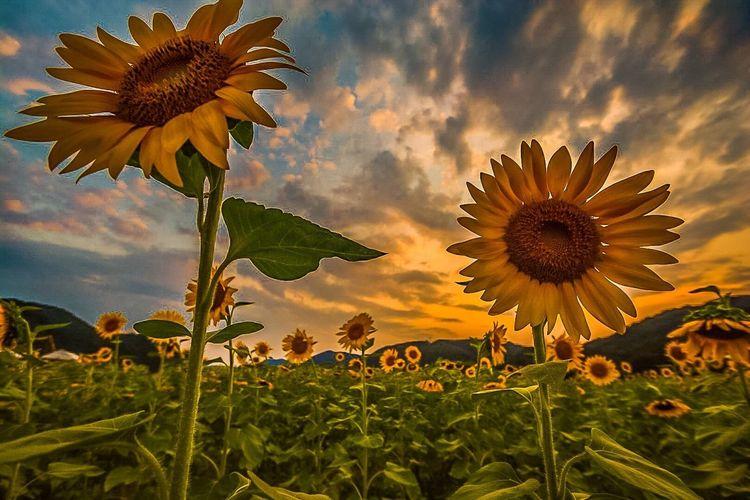 Sunflower field against clear sky