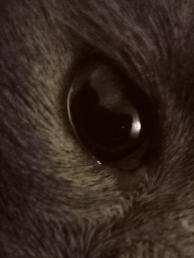 Pets Domestic Cat Domestic Animals One Animal Animal Eye Portrait Animal Themes Looking At Camera Whisker Eye Feline Animal Head  Animal Hair Animal Yellow Eyes Mammal Cute Kitten Close-up No People