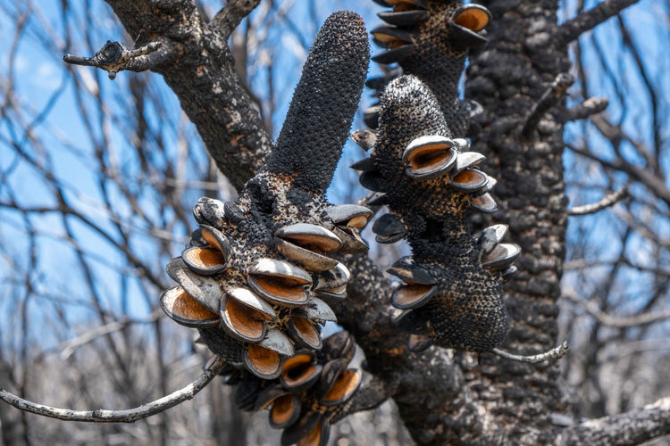 Open banksia cones after extensive forest fires