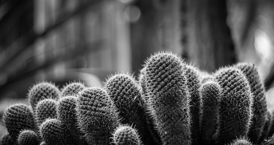 The harshness of nature Black Black & White Black And White Blackandwhite Bokeh Botany Cactus Close-up Day Desert Focus On Foreground Fragility Growing Growth Harsh Light Nature Nature No People Outdoors Plant Sharp Spiked Tranquility White