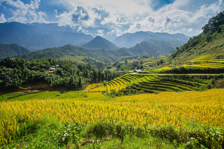Terraced rice field in rice season in Sapa, Vietnam Agriculture Beauty In Nature Cloud - Sky Crop  Environment Farm Field Green Color Growth Land Landscape Mountain Mountain Range Nature No People Outdoors Plant Plantation Rural Scene Scenics - Nature Sky Tranquil Scene Tranquility Yellow