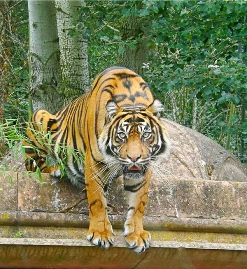Capture The Moment Tigers Big Cats Beautiful Big Cats Nature Tiger Crouching Majestic Eye4photography