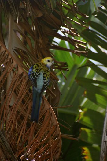 Australia Pale-crested Rosella Rosella Parrot Rosella Bird Photography Canon Photography Palm Tree Animal Themes Animal Animal Wildlife Vertebrate One Animal Animals In The Wild Tree Nature Plant No People Branch Day Outdoors Bird Leaf Green Color Plant Part Full Length