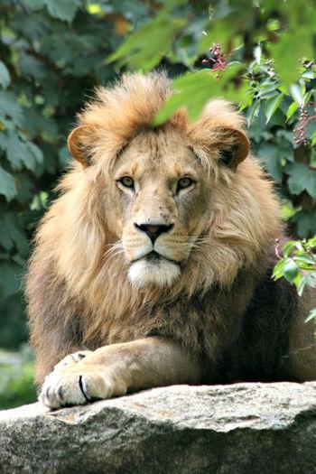 Animal Hair Animal Head  Animal Themes Close-up Lion Lion - Feline Mammal No People Wildlife