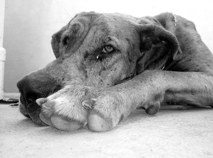Dog Pet Great Dane Black And White Black & White Blackandwhite Photography