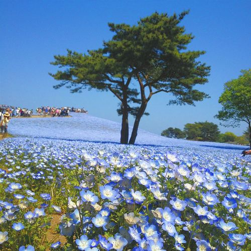 The Traveler - 2015 EyeEm Awards TheGreatOutdoors Thegreatoutdoors2015EyeemAwards Thenature Nemophila Bluelover