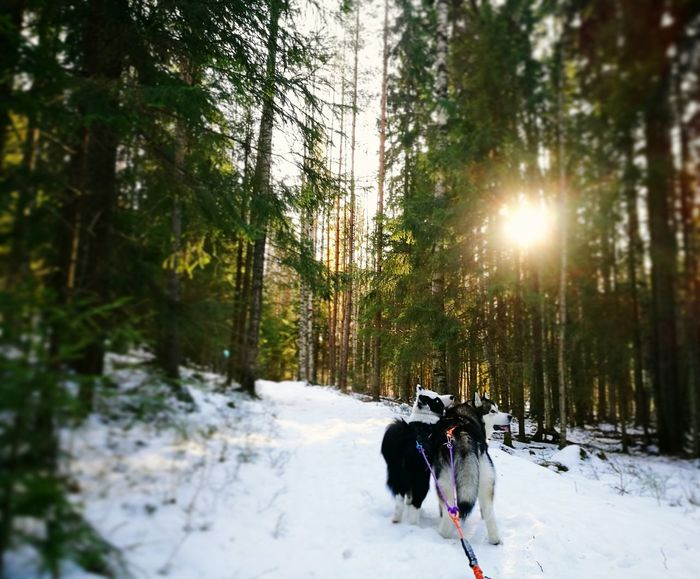 Spending quality time with with my boys. Snow Winter Nature Beauty In Nature Sunlight Animal Themes Dog Outdoors Day Tree Finland Sun Alaskan Malamute YakutianLaika YakutianLaika Mushing Sleddogs