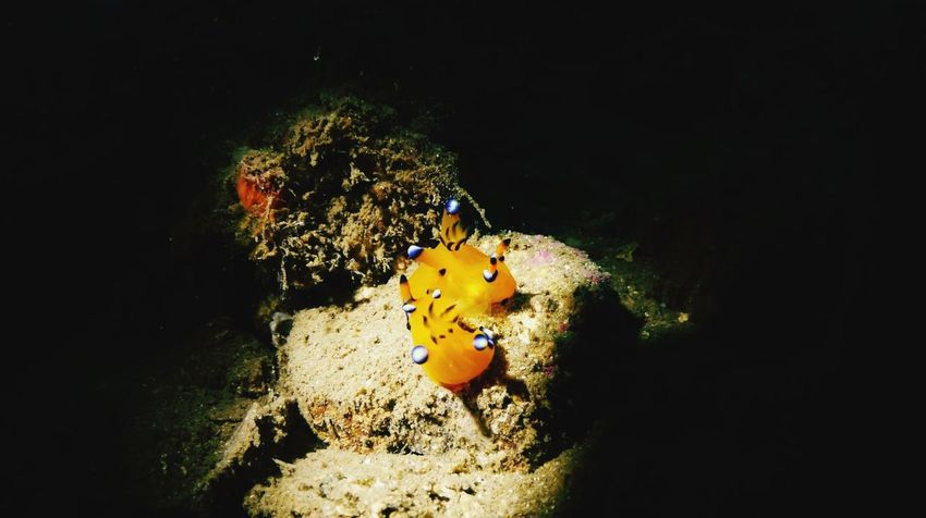 Thecacera pacifica Under The Sea Underthesea Diving Scuba Diving SCUBA Scubadiving Izu Japan Sea