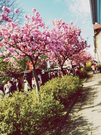 Weinfest Wine Tasting Wine Werder Baumblütenfest Street