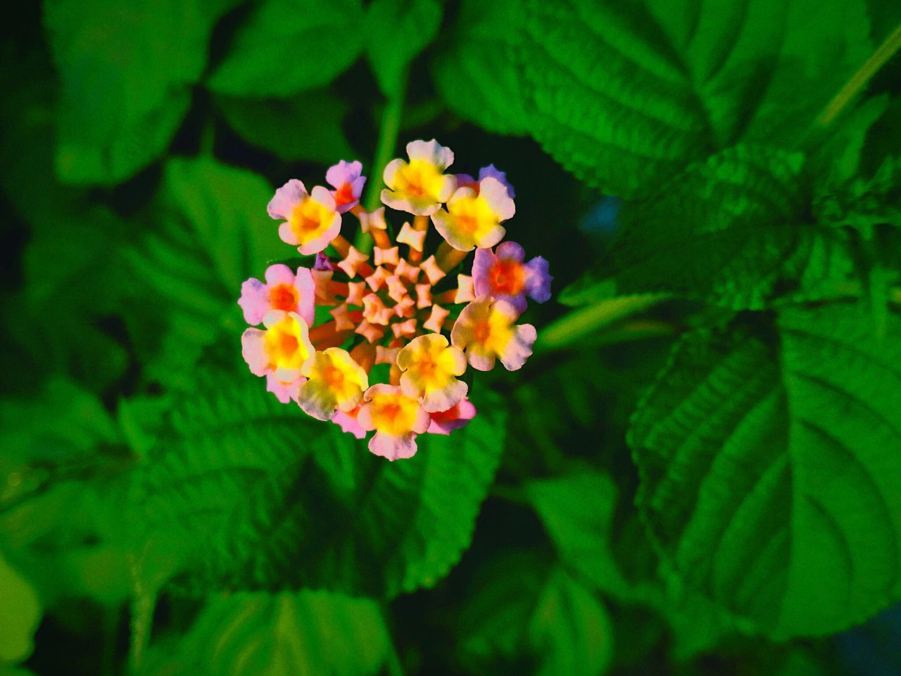 flower, growth, nature, beauty in nature, freshness, fragility, plant, green color, leaf, petal, lantana camara, blooming, outdoors, flower head, day, park - man made space, no people, close-up