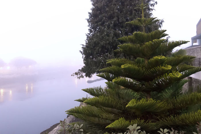 Coniferous Tree Outdoors Foggyriver Riverside Tree Beauty In Nature Tranquility No People Water Landscape Fog Spruce Tree