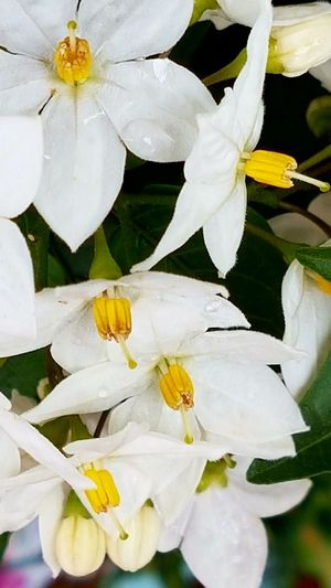 Jasmine Flower Flower Head Flower Nature Plant Petal Close-up Yellow Water No People Fragility Beauty In Nature Outdoors Day Freshness