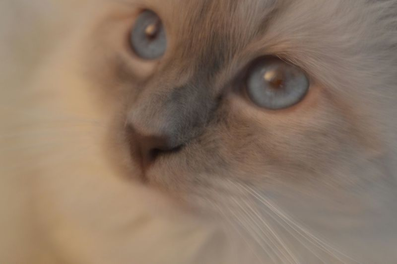 Birmancats My Cat♥ Looking Close-up Animal Themes One Animal Beauty