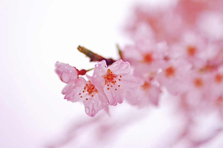 Close-up of pink flowers against white background