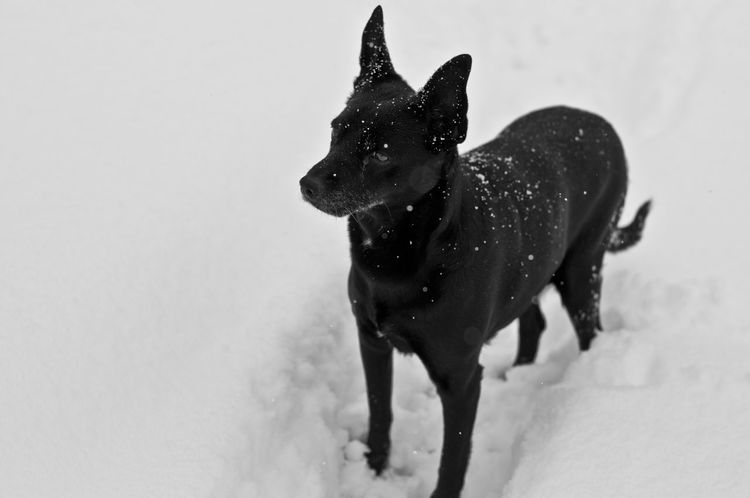 Pets Photography Snow ❄ Black Dog Cold Temperature Dog Domestic Animals Pets Pets Lover Snow Snowing Winter